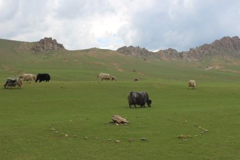 Yak nel Parco Nazionale di Gorkhi-Terelj.