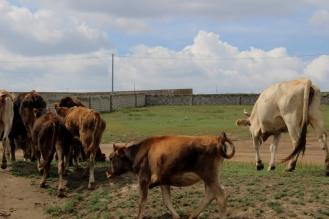 Transito di bovini.