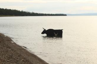 Mucca nel lago di Khovsghol.