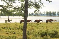 Mongolo con cavalli.