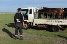Mongolo trasporta cavalli.